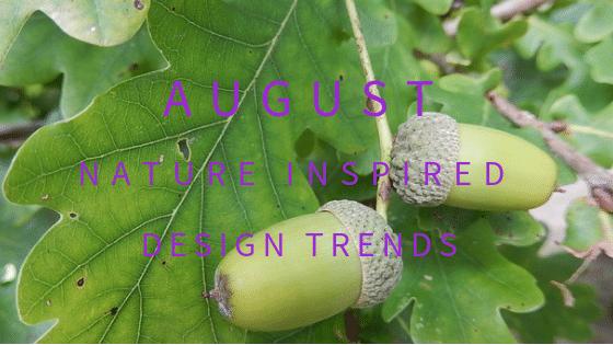 Acorns ripening on the native British oak tree